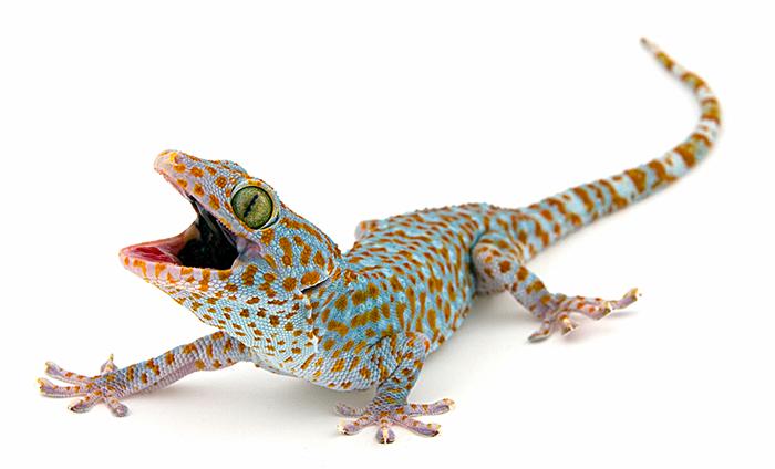 Philippines Tokay Gecko