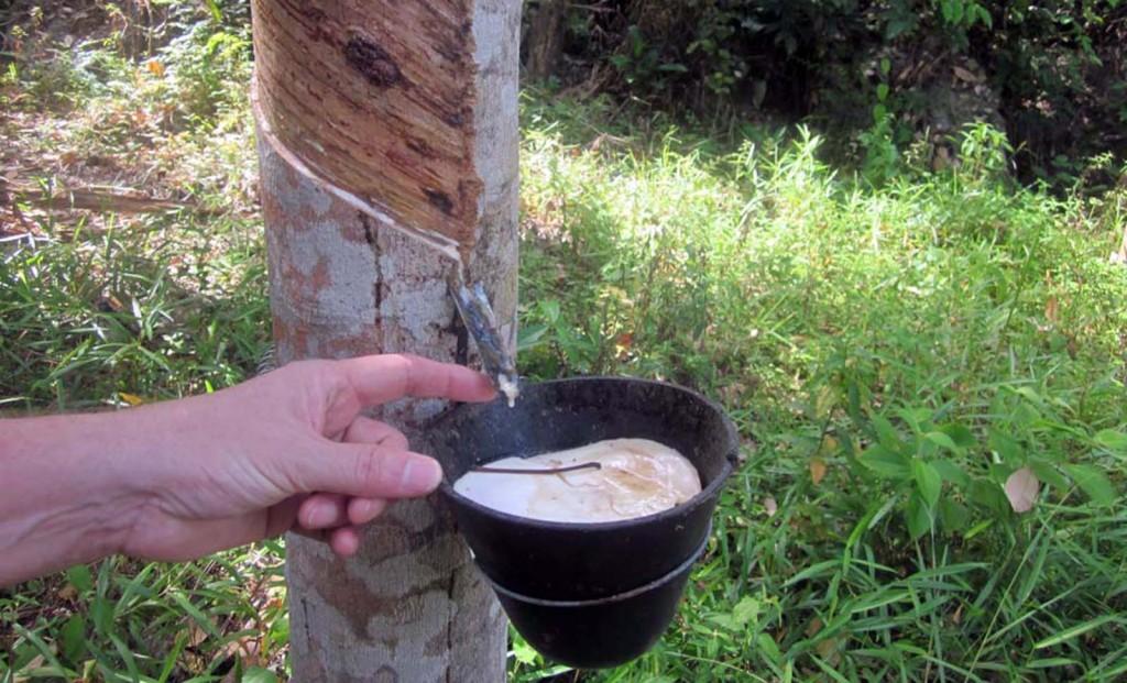 Into the Tioman Rainforest: Fresh latex