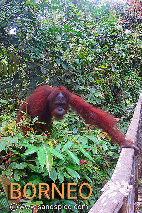 Meet the Borneo Apes at Sepilok Orangutan Rehabilitation Center