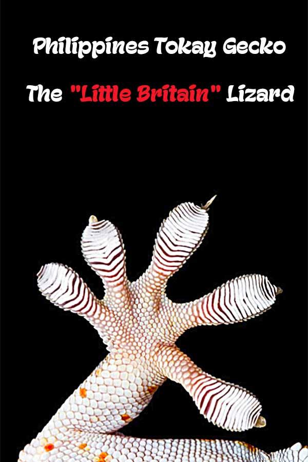 "Philippines Tokay Gecko - The ""Little Britain"" Lizard"